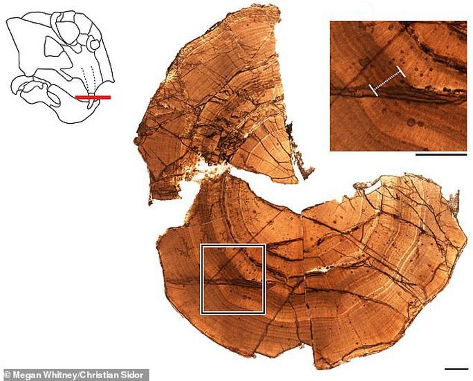 Choáng: heo lai khủng long khổng lồ thống trị Nam Cực 250 triệu năm trước - Ảnh 3.