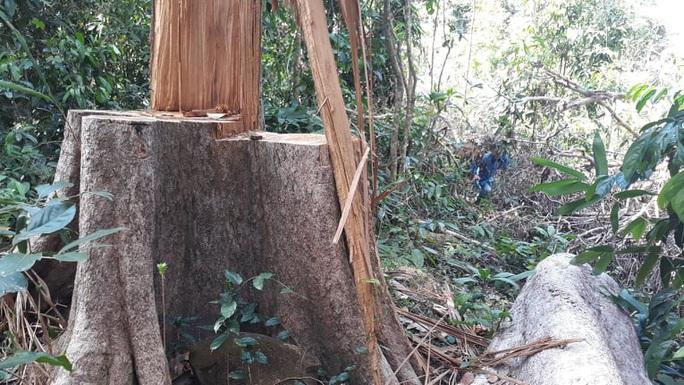 Truy tìm người trồng cây trên đất rừng bị phá - Ảnh 1.