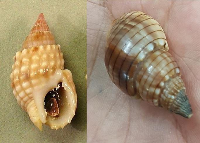 Khánh Hòa: Xác định loại ốc lạ gây ngộ độc khiến 3 người thương vong - Ảnh 2.