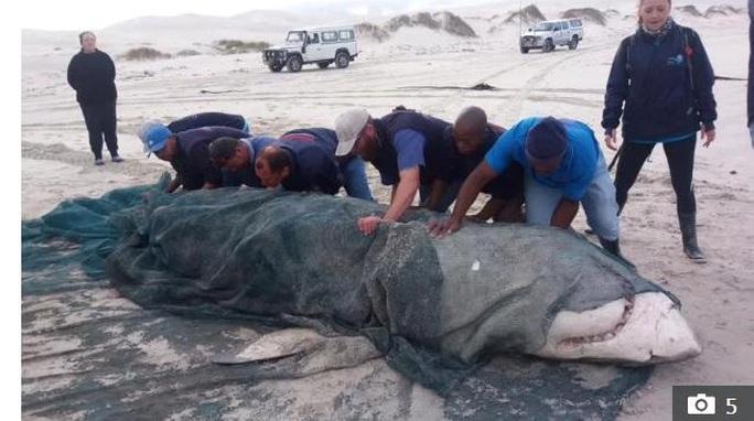 Cá voi sát thủ giết cá mập trắng lớn để ăn gan, tim và tinh hoàn - Ảnh 1.