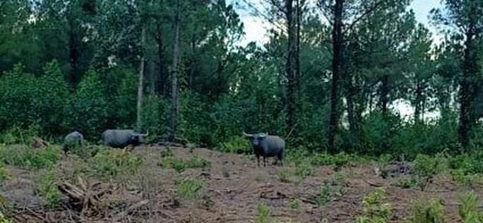 Quảng Trị: Đàn trâu hoang rượt đuổi người dân, phá 17 ha rừng trồng - Ảnh 1.