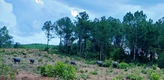 Quảng Trị: Đàn trâu hoang rượt đuổi người dân, phá 17 ha rừng trồng - Ảnh 2.