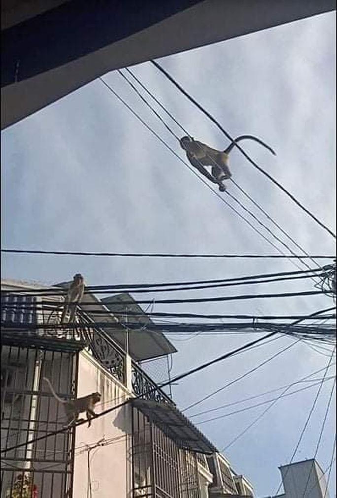 Đàn khỉ quậy tưng bừng ở quận 12, TP HCM - Ảnh 6.