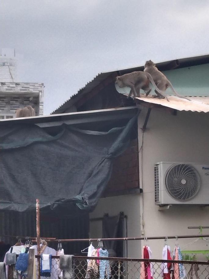 Đàn khỉ quậy tưng bừng ở quận 12, TP HCM - Ảnh 1.