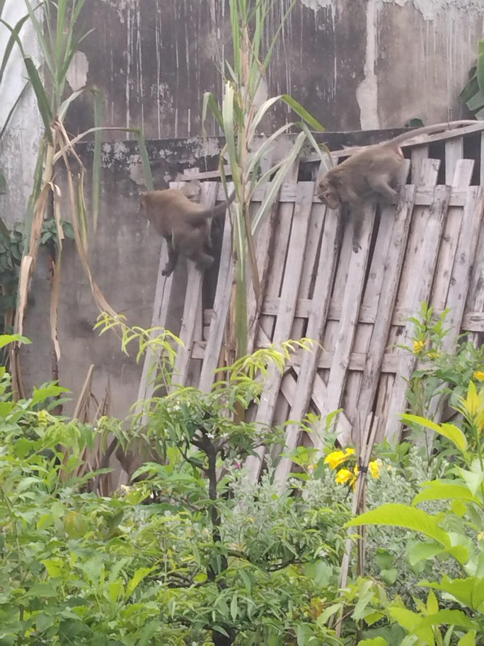 Đàn khỉ quậy tưng bừng ở quận 12, TP HCM - Ảnh 2.