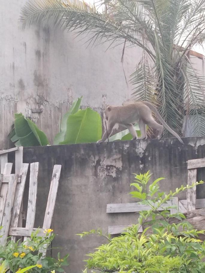 Đàn khỉ quậy tưng bừng ở quận 12, TP HCM - Ảnh 3.