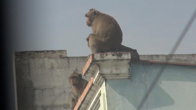 Lên phương án đưa đàn khỉ đại náo ở quận 12 ra khu dân cư - Ảnh 3.