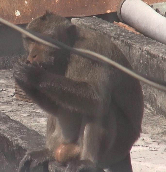 Lên phương án đưa đàn khỉ đại náo ở quận 12 ra khu dân cư - Ảnh 5.