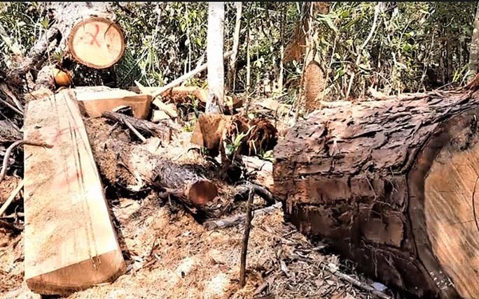 Ngược đời lâm tặc tố kiểm lâm… tiếp tay phá rừng! - Ảnh 2.