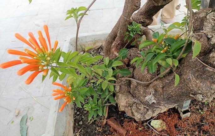 Cây hoa độc, lạ Rạng Đông thân leo bán với giá 50 triệu đồng - Ảnh 6.