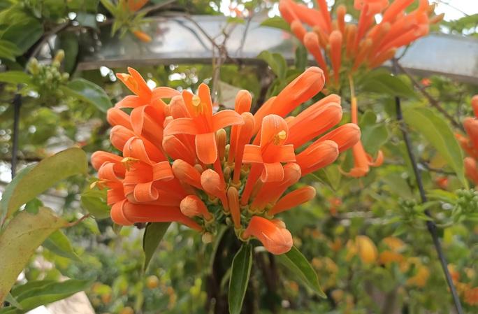 Cây hoa độc, lạ Rạng Đông thân leo bán với giá 50 triệu đồng - Ảnh 7.