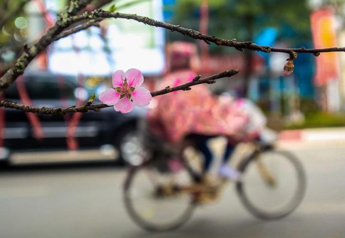 CLIP: Đào gắn tem Vân Hồ - Sơn La xuống phố có giá tới 30 triệu đồng - Ảnh 16.