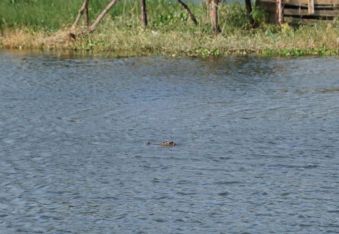Vũng Tàu lên phương án vây bắt cá sấu đi lạc dưới hồ nước - Ảnh 1.