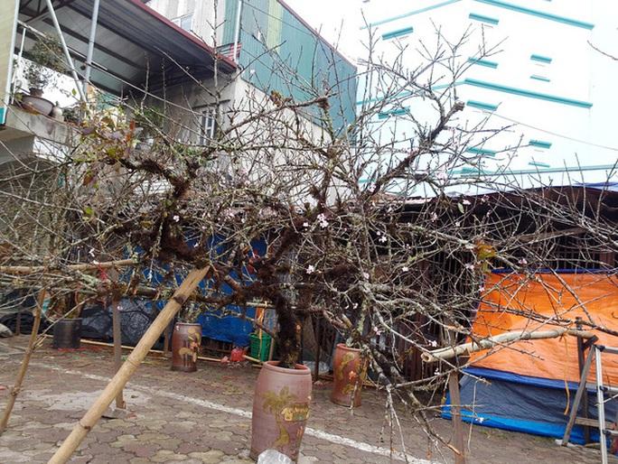 Bộ trưởng Mai Tiến Dũng: Đào rừng của người dân tự trồng vẫn được bán chơi Tết - Ảnh 1.