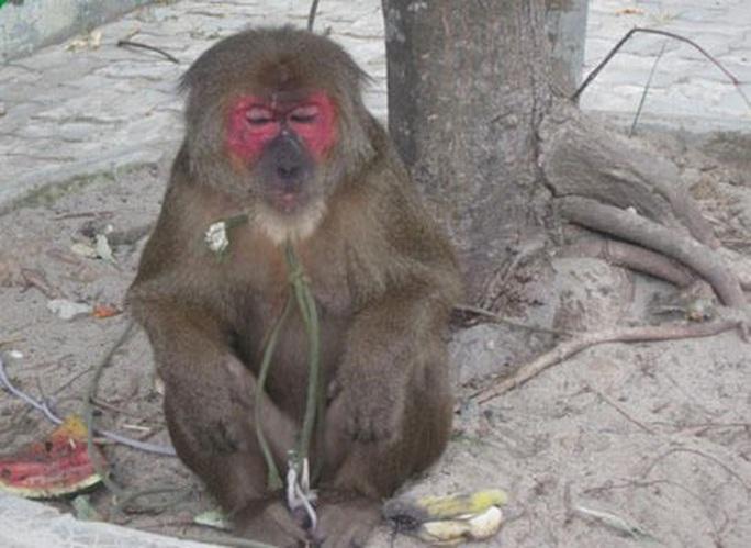 Khỉ mặt đỏ đại náo khu dân cư, tấn công người - Ảnh 1.