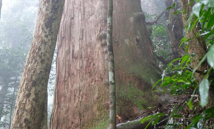 Ngắm rừng sa mu, pơ mu hơn 1.000 năm tuổi giữa đại ngàn - Ảnh 18.