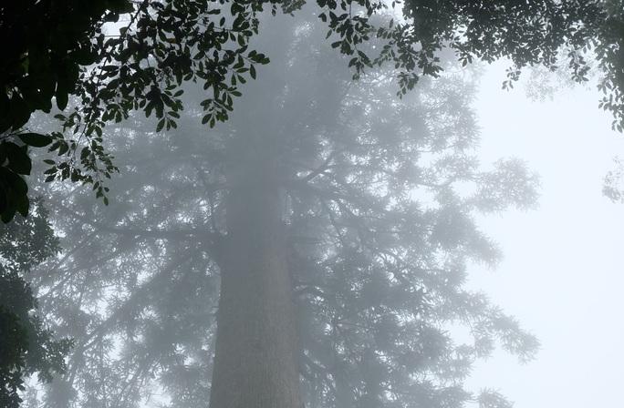 Ngắm rừng sa mu, pơ mu hơn 1.000 năm tuổi giữa đại ngàn - Ảnh 14.