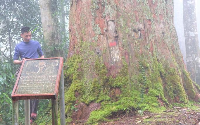 Ngắm rừng sa mu, pơ mu hơn 1.000 năm tuổi giữa đại ngàn - Ảnh 8.