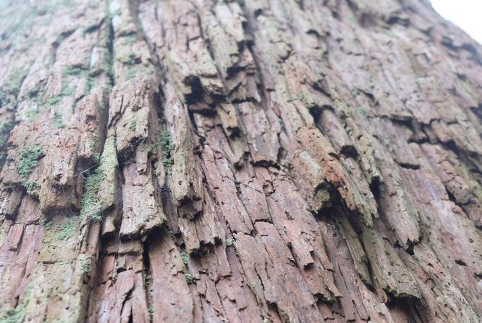Ngắm rừng sa mu, pơ mu hơn 1.000 năm tuổi giữa đại ngàn - Ảnh 17.