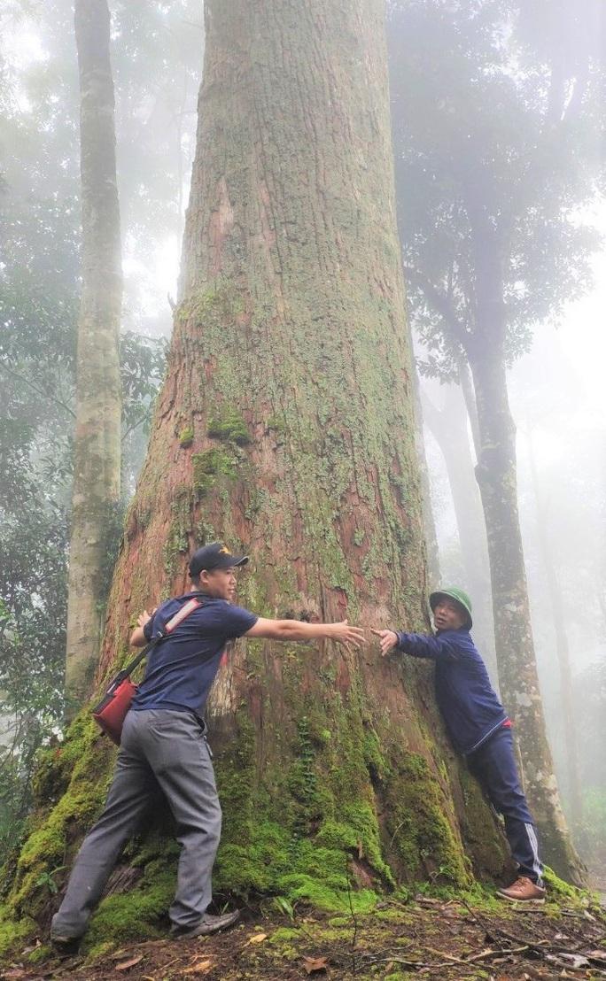 Ngắm rừng sa mu, pơ mu hơn 1.000 năm tuổi giữa đại ngàn - Ảnh 7.