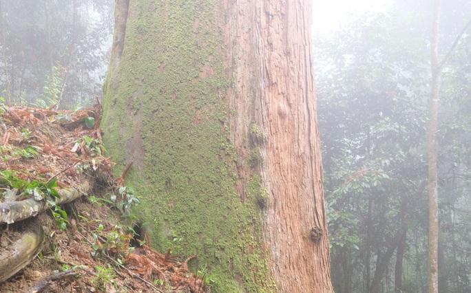 Ngắm rừng sa mu, pơ mu hơn 1.000 năm tuổi giữa đại ngàn - Ảnh 15.