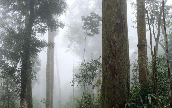 Ngắm rừng sa mu, pơ mu hơn 1.000 năm tuổi giữa đại ngàn - Ảnh 9.