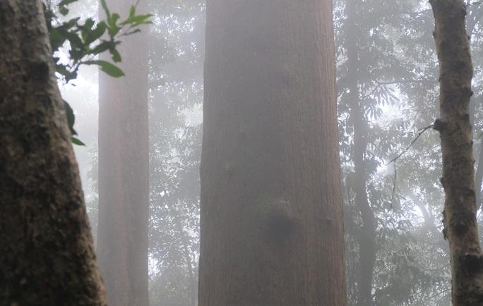 Ngắm rừng sa mu, pơ mu hơn 1.000 năm tuổi giữa đại ngàn - Ảnh 21.
