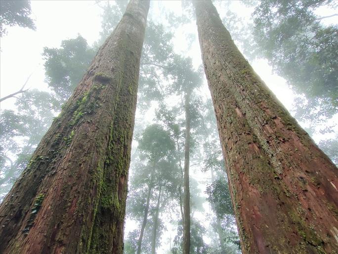 Ngắm rừng sa mu, pơ mu hơn 1.000 năm tuổi giữa đại ngàn - Ảnh 19.