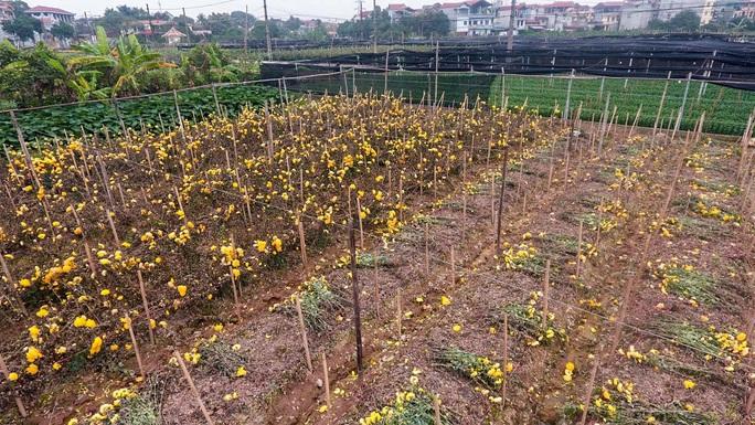"""CLIP: Ruộng hoa khô héo vì không bán được, dân trồng hoa """"gạt nước mắt cắt bỏ - Ảnh 3."""