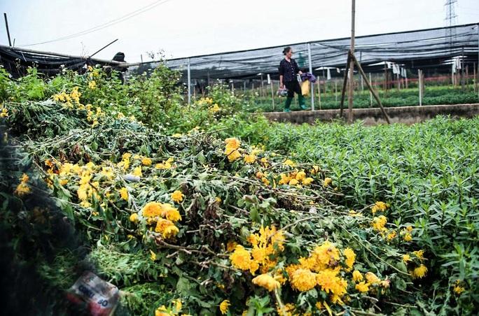 """CLIP: Ruộng hoa khô héo vì không bán được, dân trồng hoa """"gạt nước mắt cắt bỏ - Ảnh 5."""