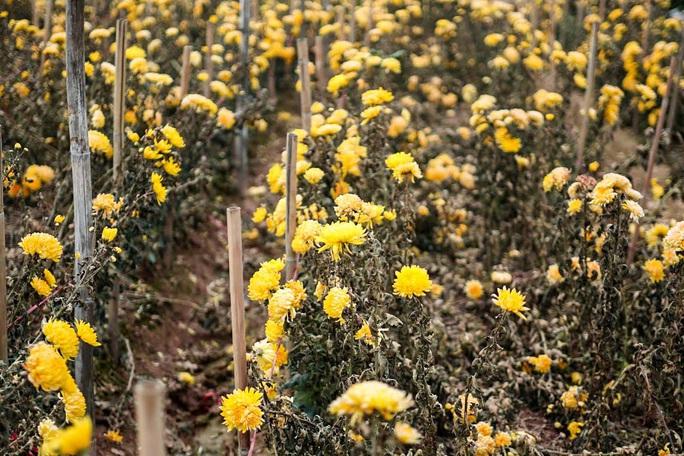 """CLIP: Ruộng hoa khô héo vì không bán được, dân trồng hoa """"gạt nước mắt cắt bỏ - Ảnh 4."""