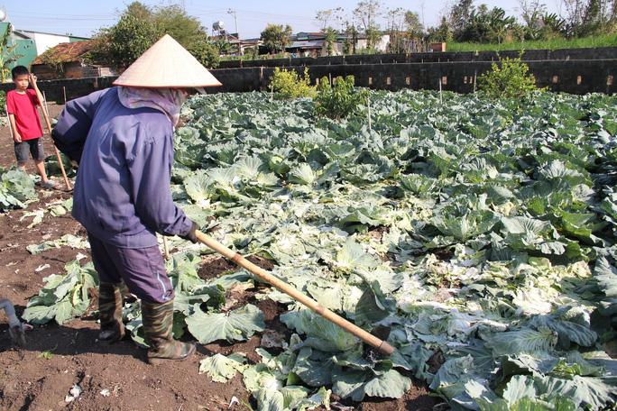 Nông dân nhổ bỏ hàng trăm tấn rau củ vì giá thấp, không người mua - Ảnh 3.