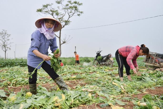 Cận cảnh người dân Hà Nội nhổ bỏ hàng trăm tấn củ cải vì không bán được - Ảnh 8.