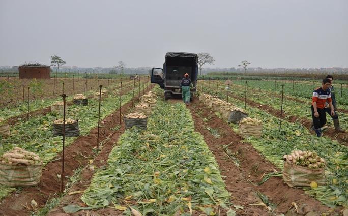 Cận cảnh người dân Hà Nội nhổ bỏ hàng trăm tấn củ cải vì không bán được - Ảnh 9.