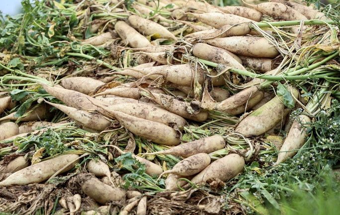 Cận cảnh người dân Hà Nội nhổ bỏ hàng trăm tấn củ cải vì không bán được - Ảnh 4.