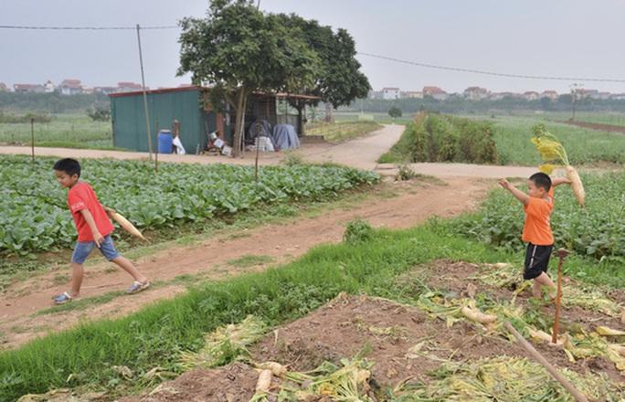 Cận cảnh người dân Hà Nội nhổ bỏ hàng trăm tấn củ cải vì không bán được  - Ảnh 7.