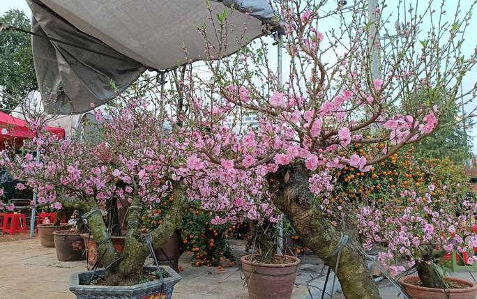 Gian hàng bán hoa đào độc lạ ở TP Thanh Hóa - Ảnh 3.