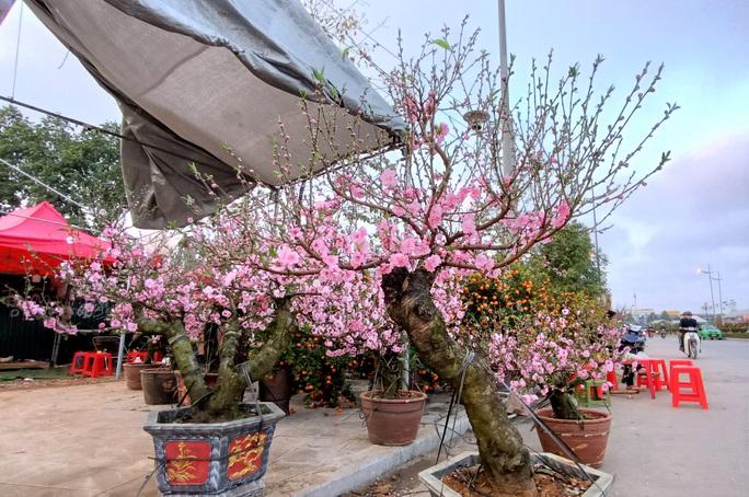 Gian hàng bán hoa đào độc lạ ở TP Thanh Hóa - Ảnh 9.