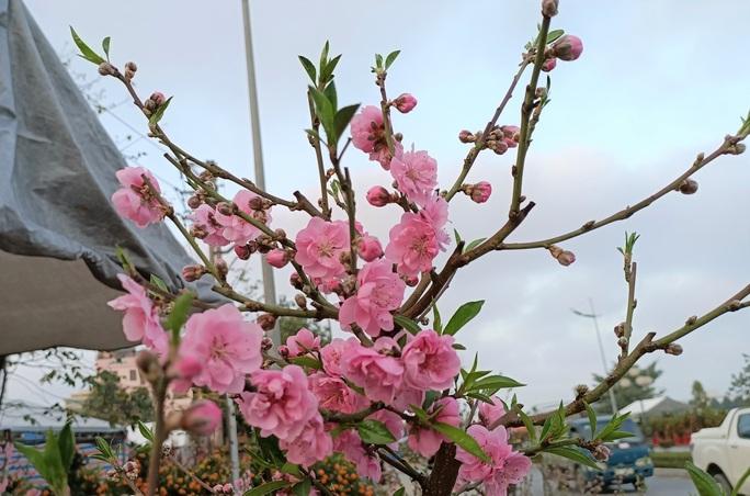 Gian hàng bán hoa đào độc lạ ở TP Thanh Hóa - Ảnh 6.