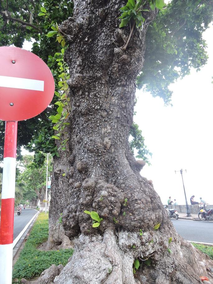(Bài xuân online) Ngắm vẻ đẹp vượt thời gian của hàng cây di sản ở Côn Đảo - Ảnh 3.
