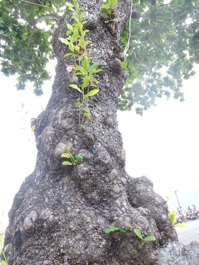 (Bài xuân online) Ngắm vẻ đẹp vượt thời gian của hàng cây di sản ở Côn Đảo - Ảnh 4.
