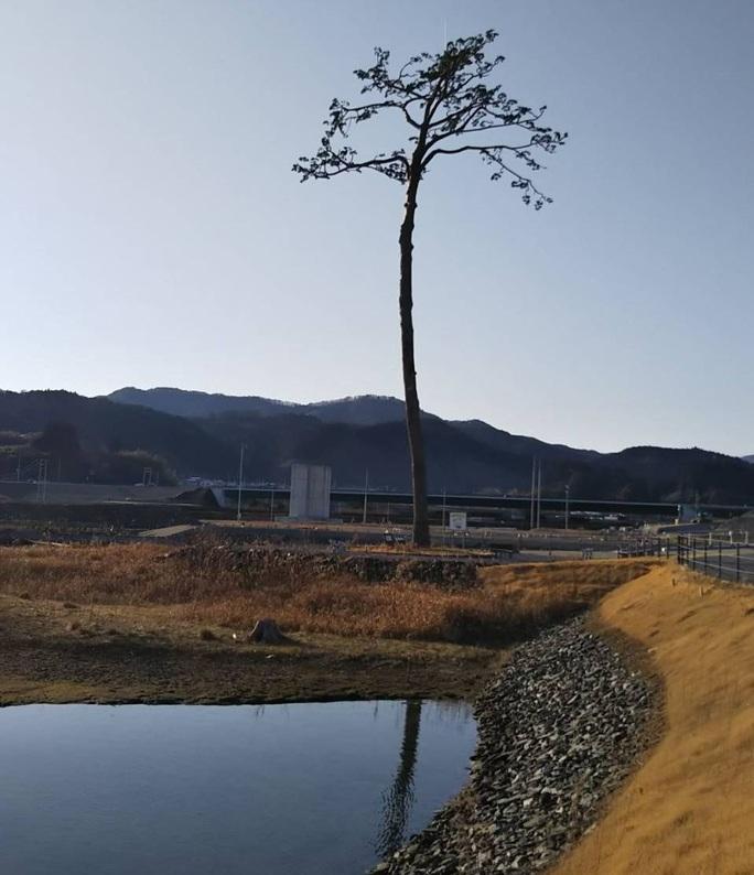 Thảm hoạ Nhật Bản: Cây thông thần kỳ 10 năm trước bây giờ ra sao? - Ảnh 5.