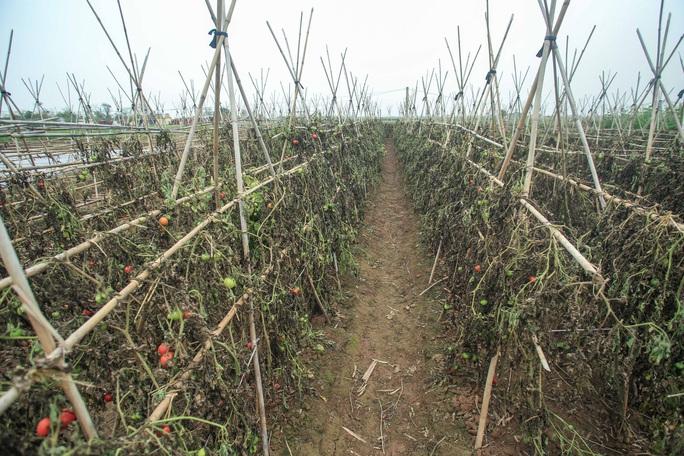 CLIP: Người dân Hải Dương nườm nượp ra vườn nhổ bỏ nông sản - Ảnh 6.