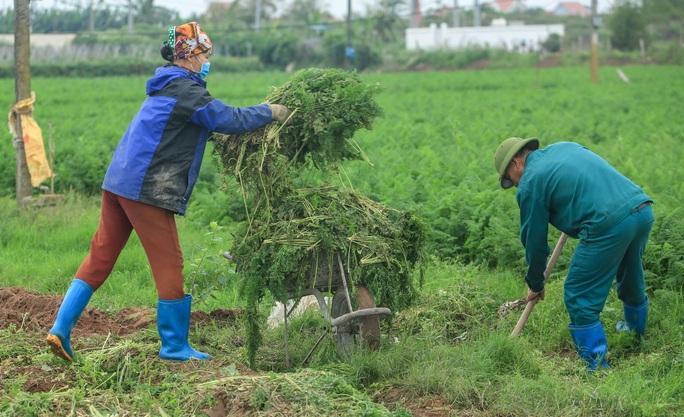 CLIP: Người dân Hải Dương nườm nượp ra vườn nhổ bỏ nông sản - Ảnh 10.