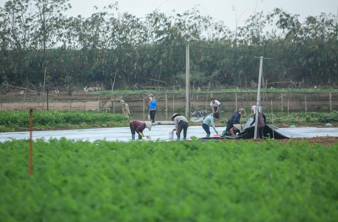 CLIP: Người dân Hải Dương nườm nượp ra vườn nhổ bỏ nông sản - Ảnh 5.