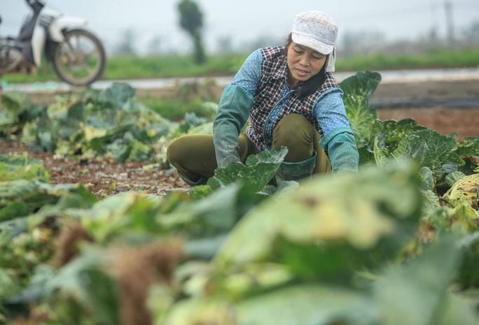 CLIP: Người dân Hải Dương nườm nượp ra vườn nhổ bỏ nông sản - Ảnh 2.