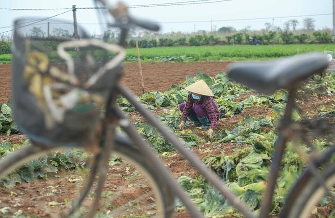 CLIP: Người dân Hải Dương nườm nượp ra vườn nhổ bỏ nông sản - Ảnh 15.