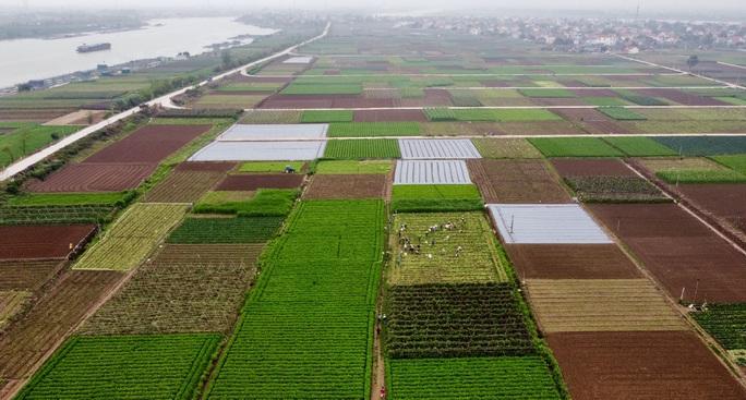 CLIP: Người dân Hải Dương nườm nượp ra vườn nhổ bỏ nông sản - Ảnh 3.