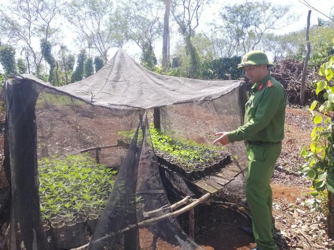 Lại phát hiện vụ trồng cần sa quy mô lớn ở Đắk Lắk - Ảnh 3.