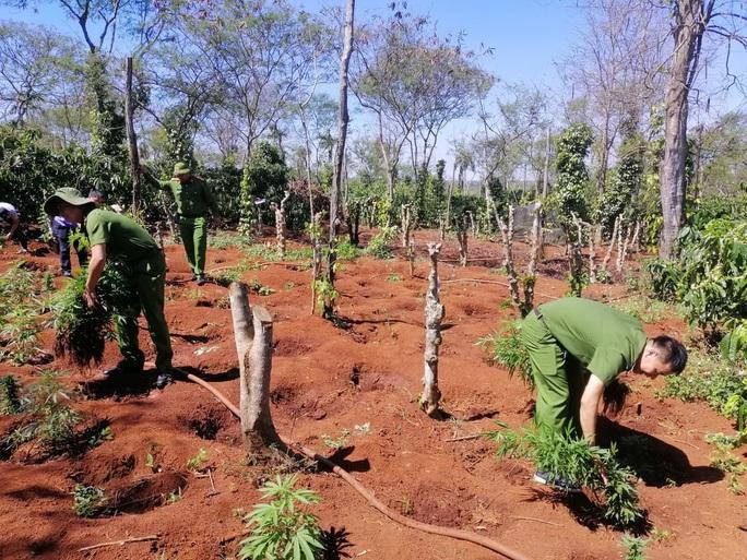 Lại phát hiện vụ trồng cần sa quy mô lớn ở Đắk Lắk - Ảnh 2.